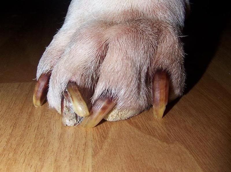 Nail Cutting of Breed Dogs, Small Dogs and Cats